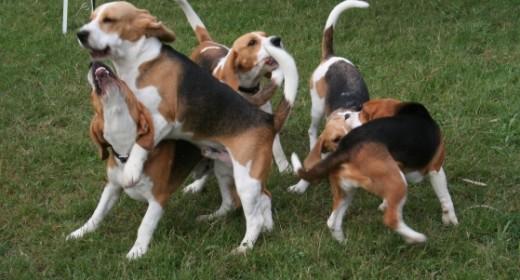Beagle climbing