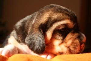 cucciolo-beagle